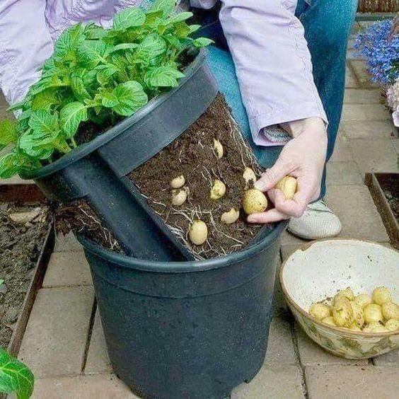 Нетрадиционные технологии выращивания картофеля 30