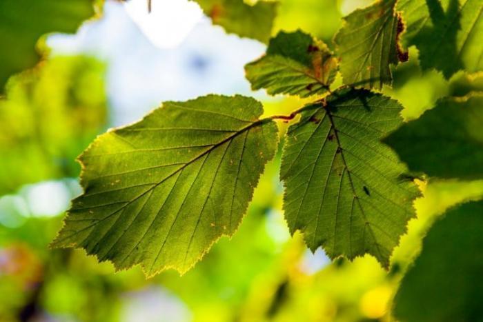 Созданы искусственные листья…