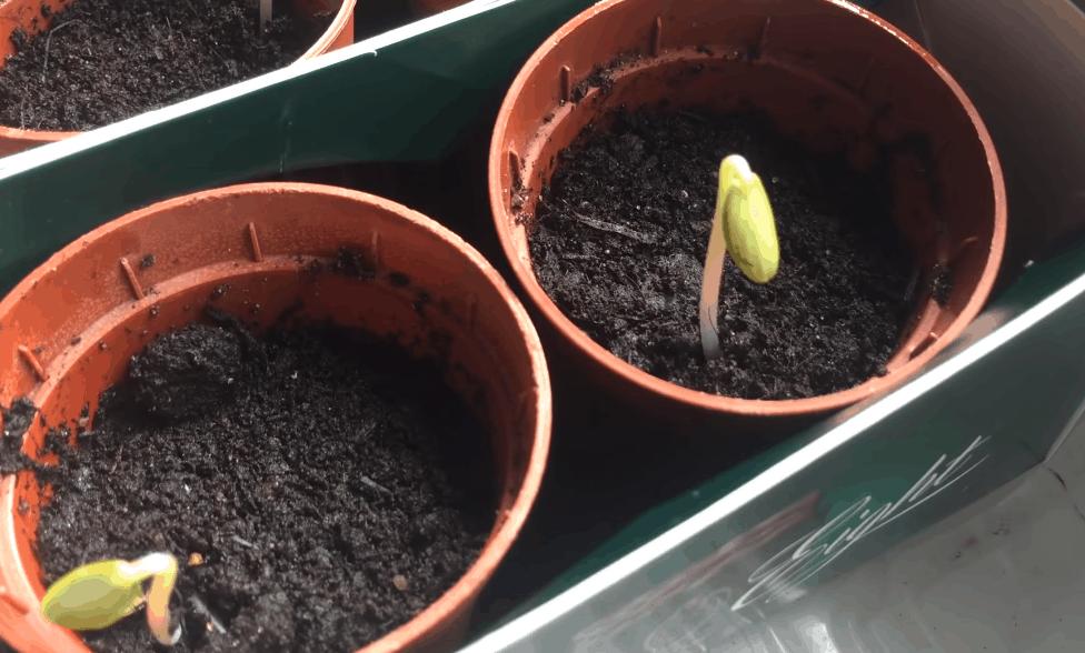 Экспресс-метод выращивания рассады огурцов: быстрее просто не бывает!