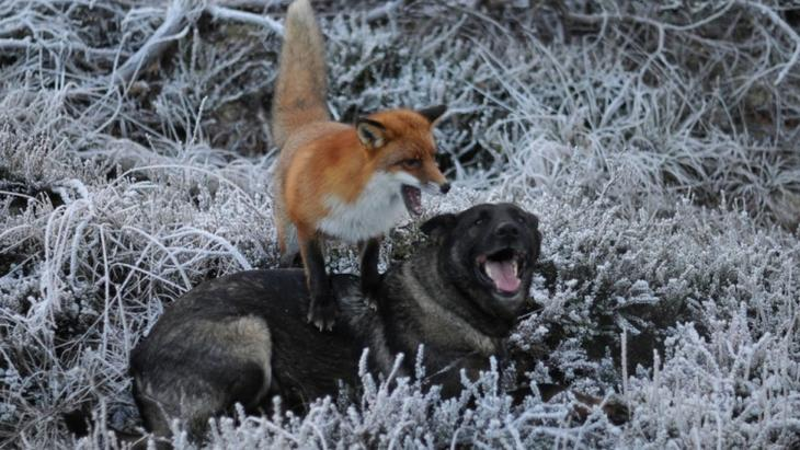 Удивительная дружба между дикой лисой и собакой