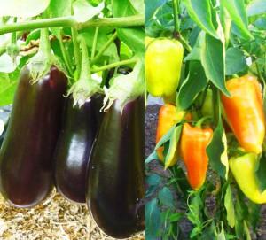 Перцы и баклажаны в одной теплице. Как получить хороший урожай при совместном выращивании