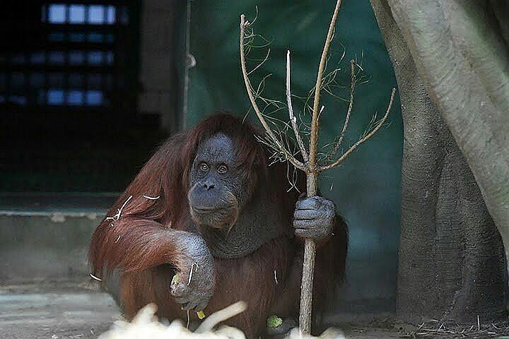 Ученые: орангутаны могут рассказывать друг другу о прошлом