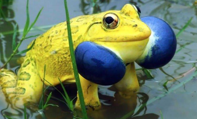 Лягушки монстры: огромные и прожорливые создания из глубин джунглей