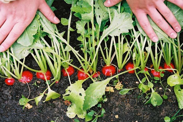 можно посадить редиску и землянику вместе термобелье стоит