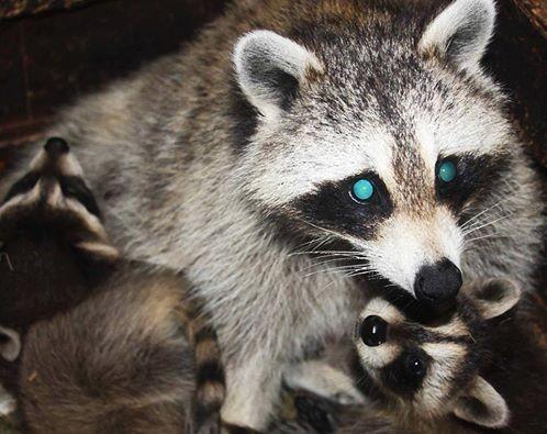 Слепая енотиха потеряла своих малышей и теперь заботиться об осиротевших енотах