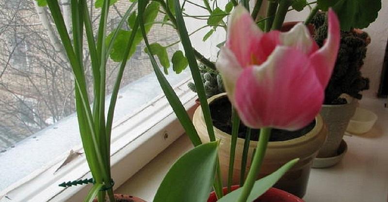 Картинки по запросу выгонка тюльпанов на подоконнике