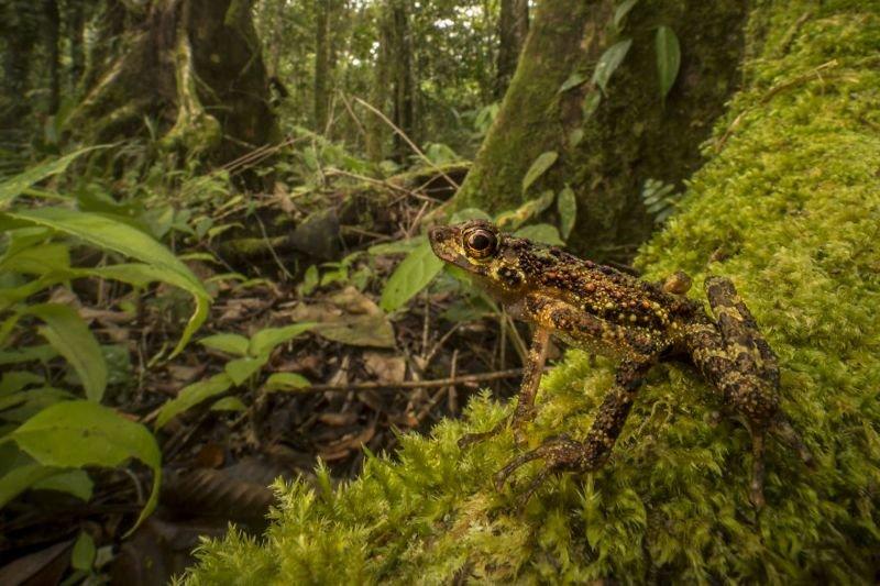 Дископалая анзония - бесхвостые амфибии из семейства жаб. Вид, который не встречался почти 90 лет и считался уже безвозвратно животные, искусство, планета земля, природа, фото, хрупкость
