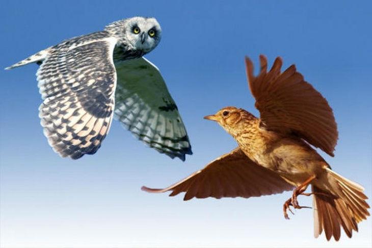 Как сойтись сове и жаворонку