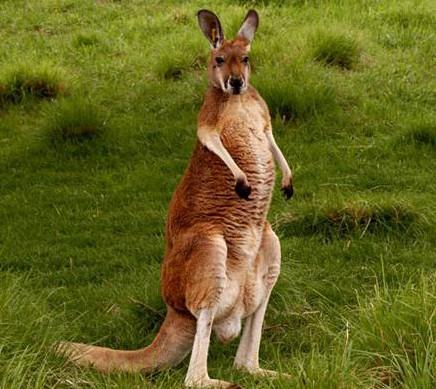 Интересные животные Австралии