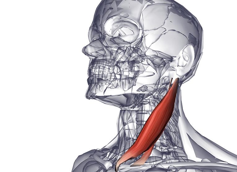 Самомассаж грудино-ключично-сосцевидной мышцы избавит от множества болезней