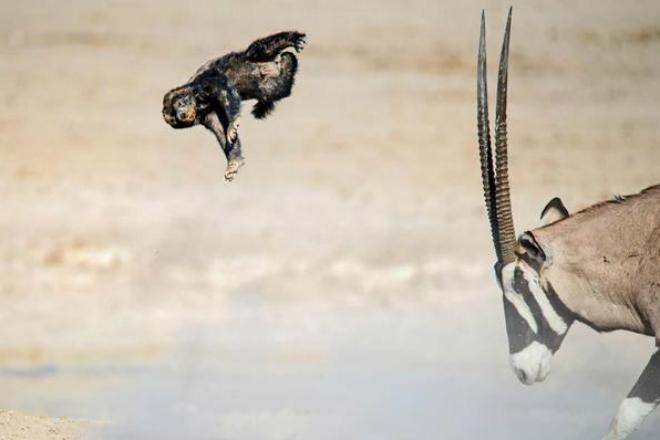 Безбашенный медоед: зверь, к…