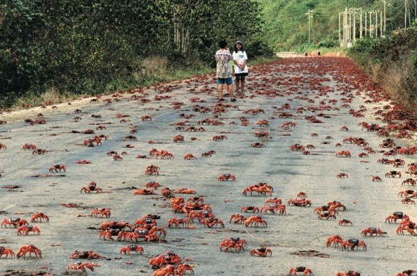 Миграция красных крабов с ос…