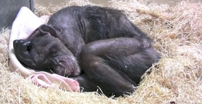 Старая шимпанзе отказывалась есть и пить. Но одна встреча даже заставила ее улыбнуться!