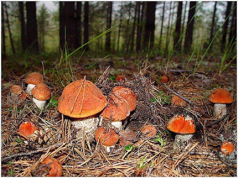 что значит во сне собирать грибы красноголовики пропитывается запахом пота