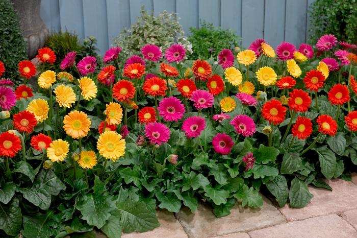 Гербера садовая: буйство красок на протяжении всего лета!