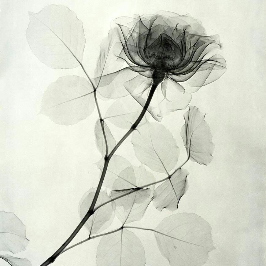 Картинки по запроÑу рентген цветов