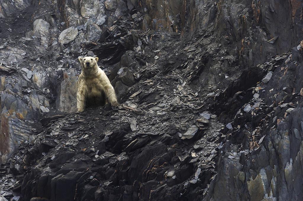 Более 50 исхудавших белых медведей окружили село на Чукотке