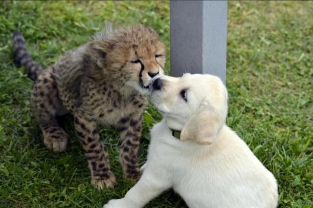 А вы знаете, почему щенков лабрадора подкладывают в клетки гепардов?!