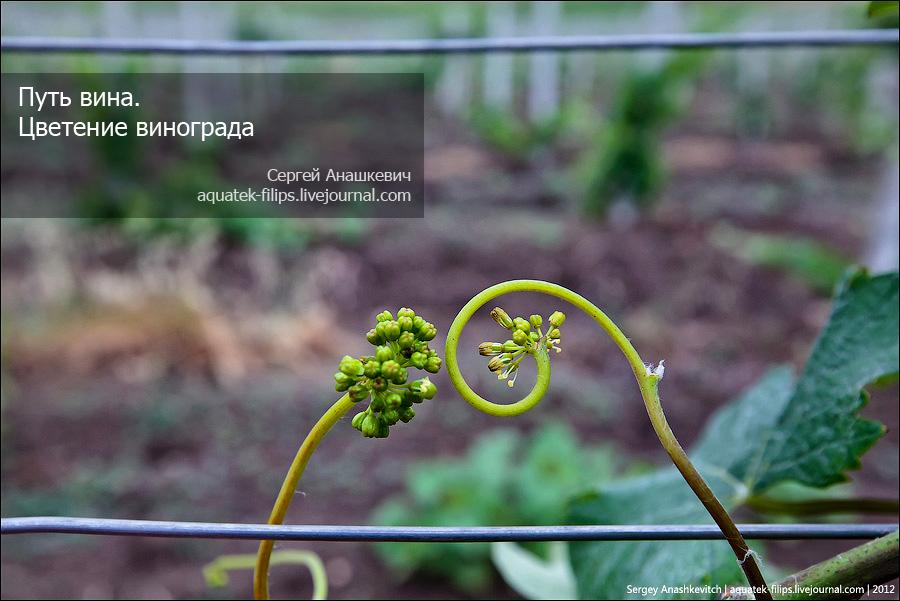 Цветение виноградников в Крыму