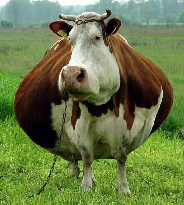 Аплодирую стоя чувству юмора хозяину коровы