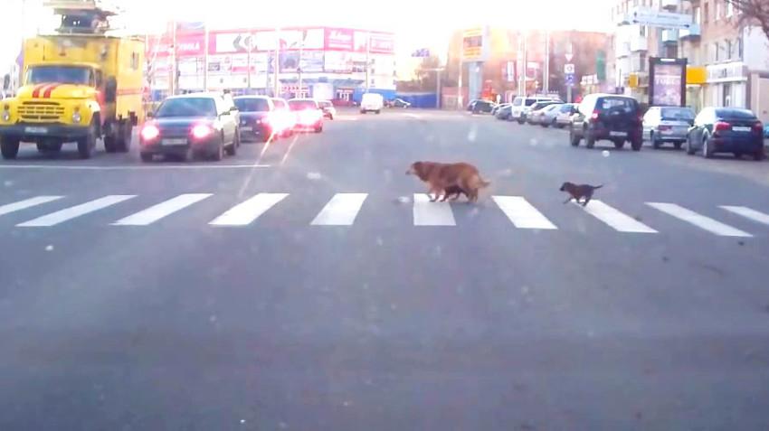 Собака с щенками переходит дорогу по правилам
