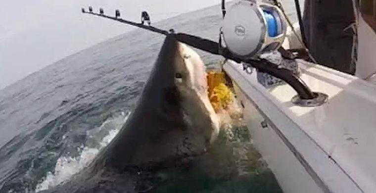 Рыбаки сняли неожиданную встречу с голодной белой акулой