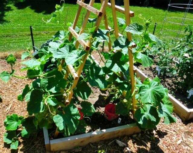 Выращивание огурцов и кабачков