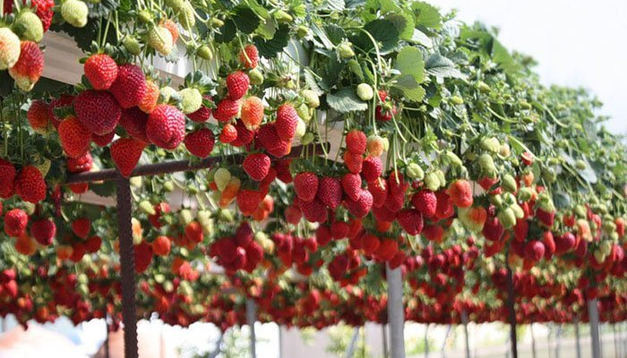 Как сажать клубнику в августе, чтобы не беспокоится об урожае в следующем году?