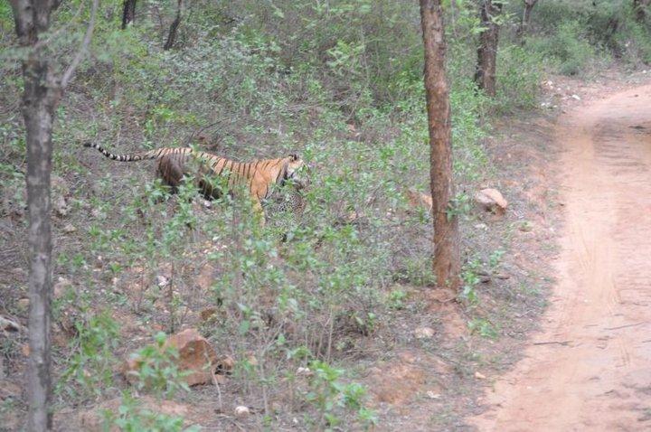 Схватка кошачьих: у леопарда не было шансов