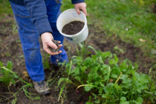 Сидераты нужно сажать сразу после сбора урожая
