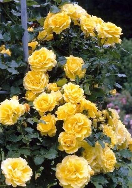 Самые раннецветущие сорта плетистых роз