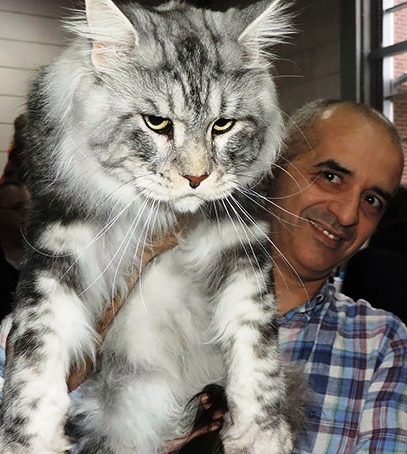 Подборка фото котиков породы мейн-кун, которые убедят вас, что ваша кошка просто карлик!