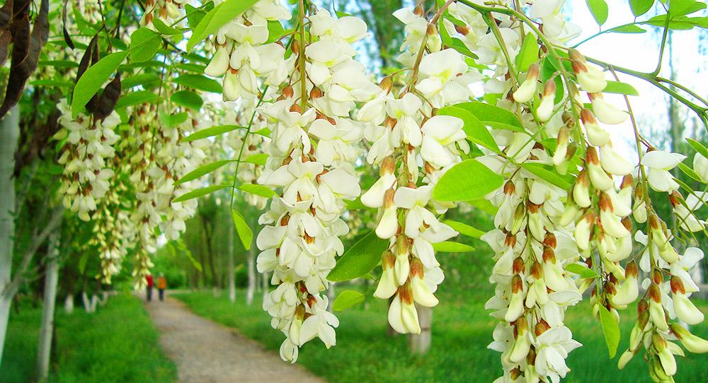 Целебные свойства цветущей Акации.