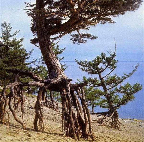 """Удивительные """"шагающие деревья"""" Байкала"""