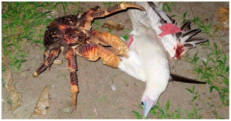 Кокосовый краб напал на спящую в гнезде птицу