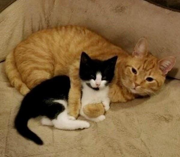 """""""Не отдам!"""" Мужчина не смог отдать спасенного котенка, так как его кот решил иначе"""