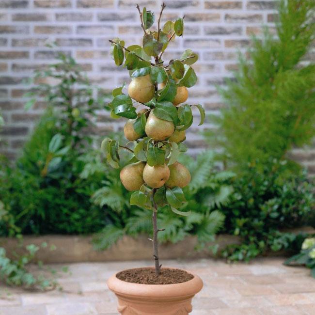 Мини-деревья, из которых можно устроить настоящий фруктовый сад прямо на балконе