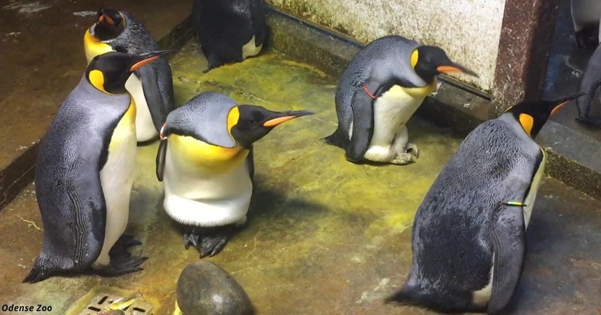 Пингвины-геи похитили пингви…
