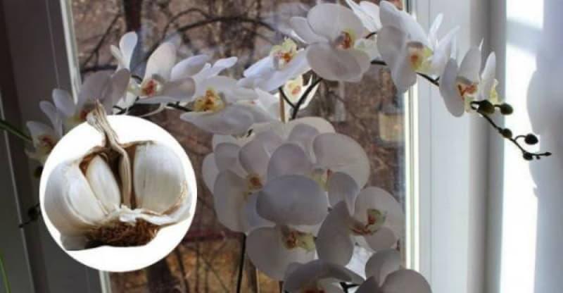 Чеснок — спасение для орхидей!