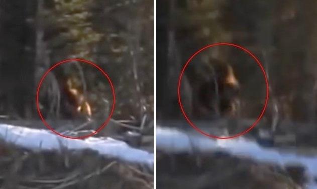 В Канаде сняли на видео огромного йети на опушке леса
