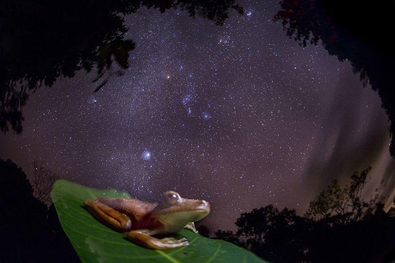 Редкая древесная лягушка-гладиатор на фоне Млечного пути... животные, искусство, планета земля, природа, фото, хрупкость