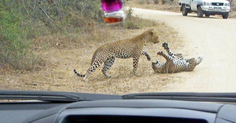 В парке ЮАР туристы сняли смертельную схватку двух леопардов