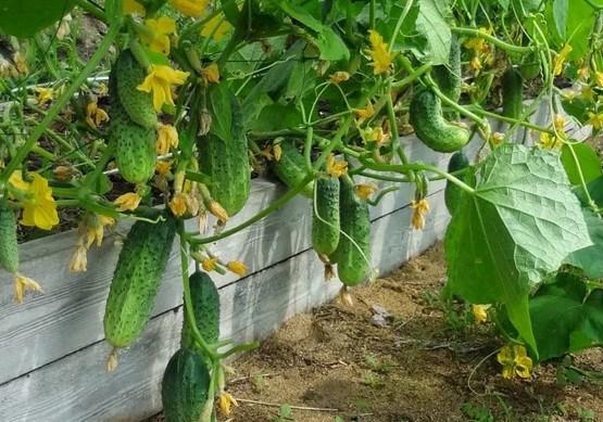 Простой и доступный секрет выращивания большого урожая огурцов