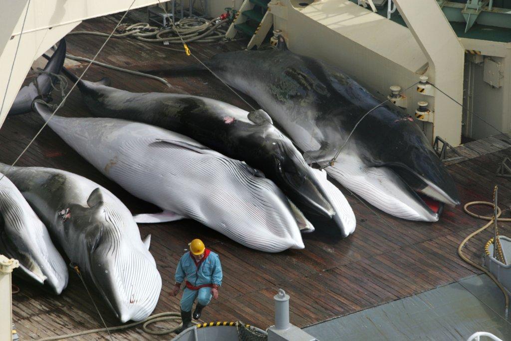 Японцы убили 200 беременных самок китов