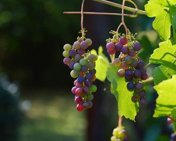 В Книгу рекордов Гиннеса попало грузинское вино