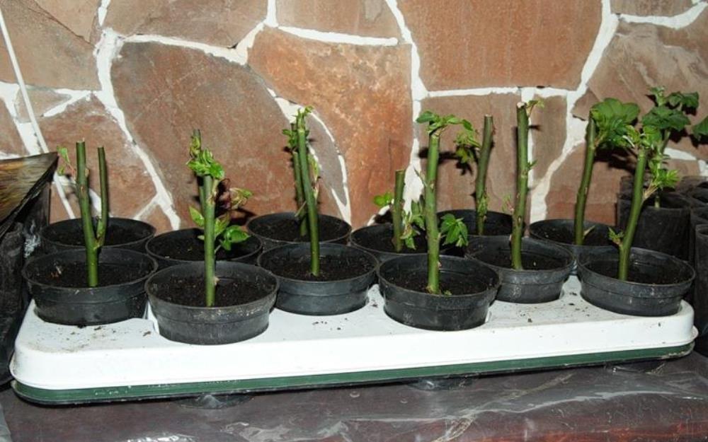 Как сажать росток розы