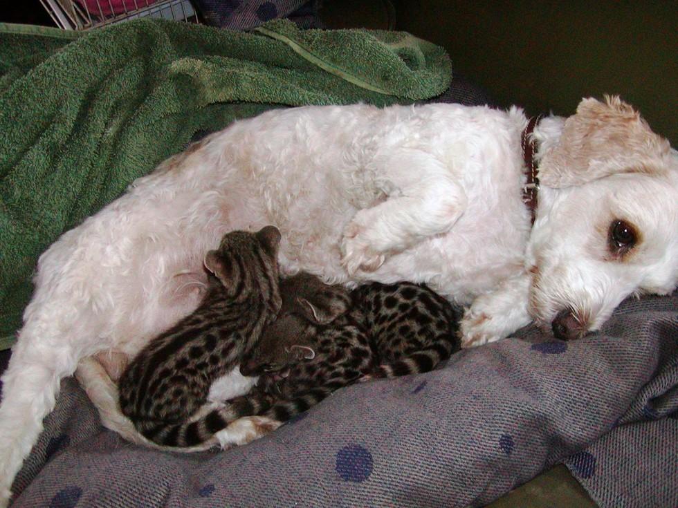 Удивительная история собаки, которая выкормила детенышей геннет