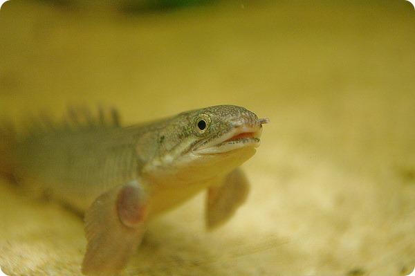 Можно ли научить ходить рыбу?