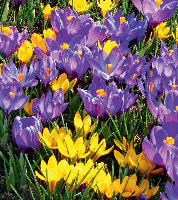 Луковичные чудеса: яркие идеи для цветников
