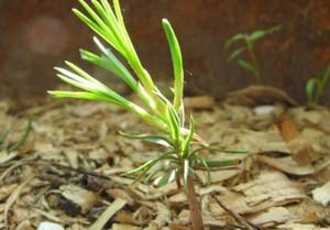 Посадите кедр
